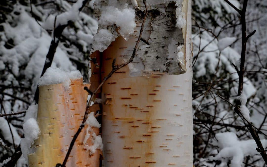 Paper Birch – A Nature Study